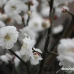 マルカミの花壇 白梅開花